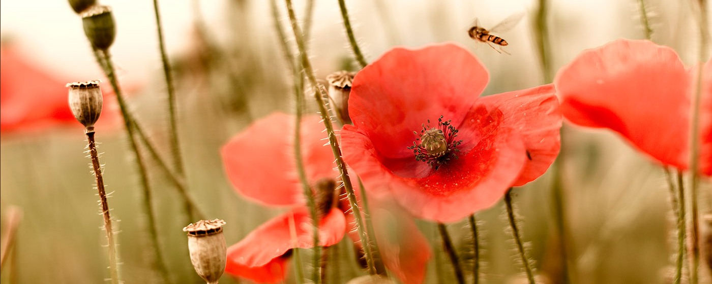 Flanders Fields poppies ©milo-profi