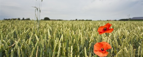 Poppies, Flanders Fields (c)Westtoer apb