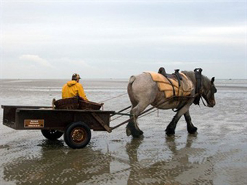 Shrimp fishermen with horse - Oostduinkerke
