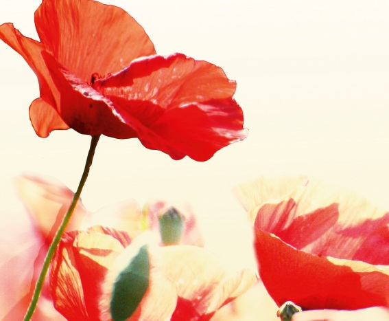 Flanders Fields - coquelicot